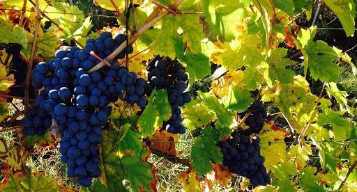 vitigno calosso